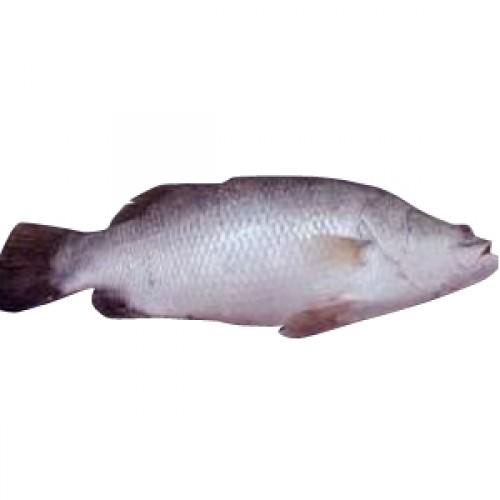 Bhetki fish for 95 9 the fish