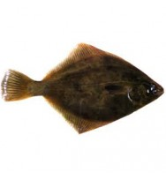 FLOUNDER WHOLE