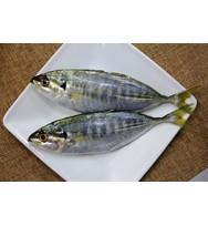 Selar Fish